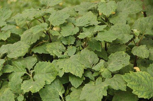 liście paczuli