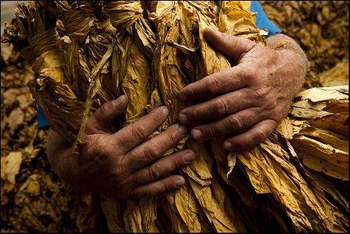 tobacco leaves liście tytoniu