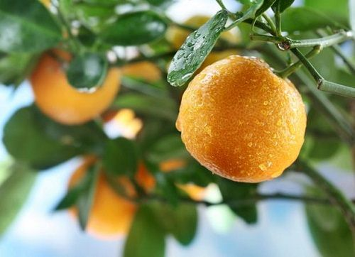 pomarańcz na drzewie