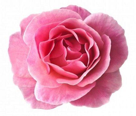 damascena rose