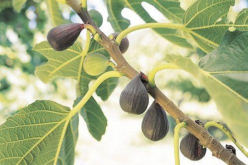 drzewo figowe