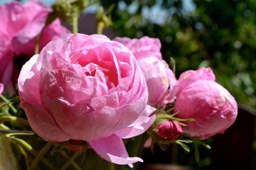róża bułgarska